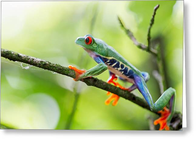 Tree Frog Greeting Cards - red eyed tree frog Costa Rica Greeting Card by Dirk Ercken