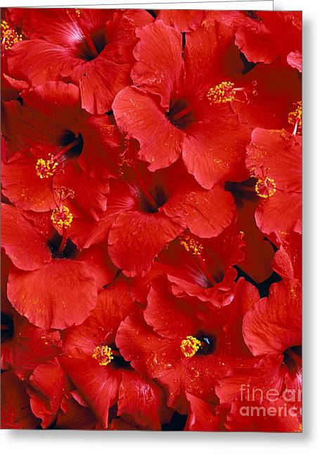 Red Hibiscus Greeting Card by Tomas del Amo - Printscapes