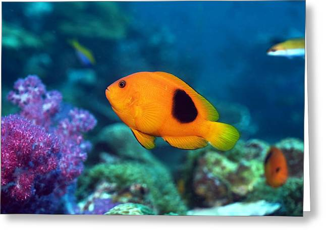 Reef Fish Photographs Greeting Cards - Red Saddleback Anemonefish And Soft Coral Greeting Card by Georgette Douwma