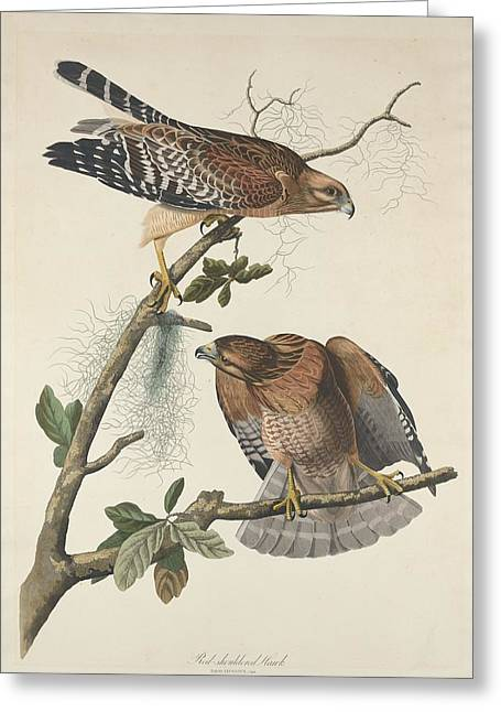 Red Shouldered Hawk Greeting Cards - Red Shouldered Hawk Greeting Card by John James Audubon