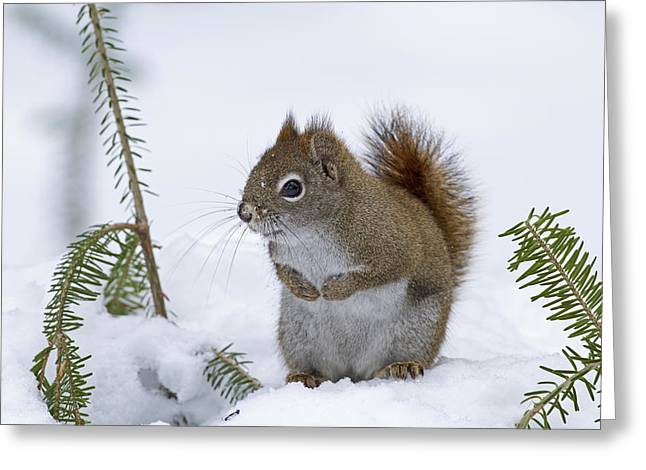 The Trees Greeting Cards - Red Squirrel  Tamiasciurus Hudsonicus Greeting Card by Philippe Henry