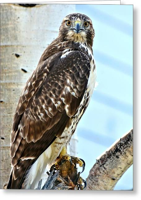 Hunting Bird Greeting Cards - Red Tail Hawk Greeting Card by Amy McDaniel