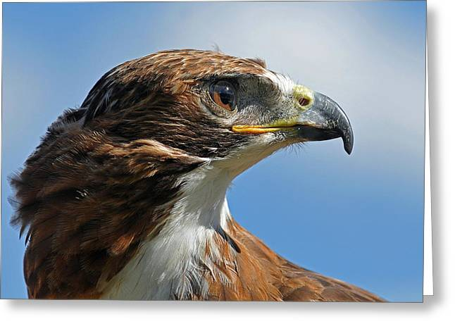 Red-tailed Hawk Greeting Cards - Red-tailed Hawk Greeting Card by Alan Lenk