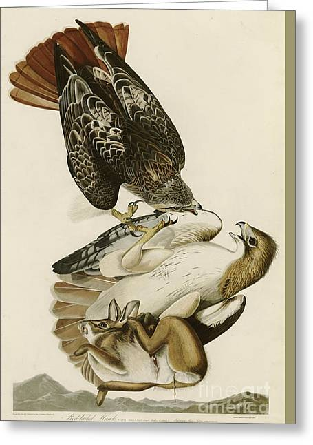 Hawk Greeting Cards - Red Tailed Hawk Greeting Card by John James Audubon