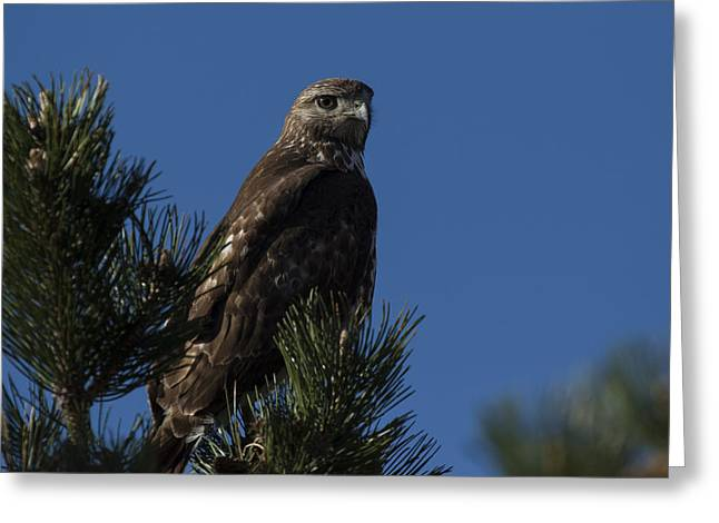 Red-tailed Hawk Greeting Cards - Red Tailed Hawk Greeting Card by Noah Bryant