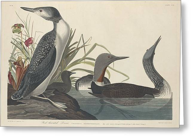 Red-throated Diver Greeting Card by John James Audubon