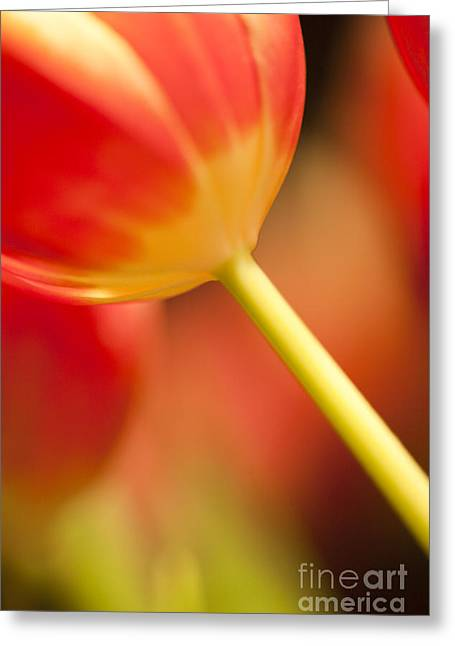 Flower Blossom Greeting Cards - Red Tulips  Greeting Card by Heiko Koehrer-Wagner