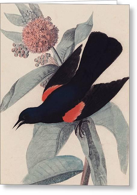 Red Winged Blackbird Greeting Card by John James Audubon