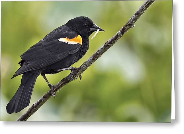 Featured Art Greeting Cards - Red-winged Blackbird Greeting Card by Marcia Colelli