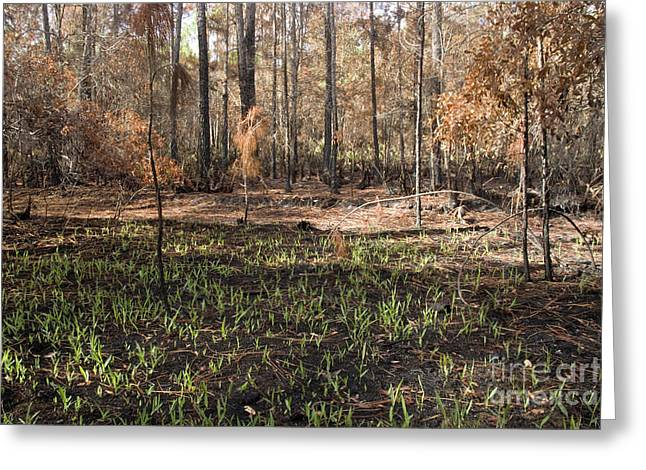 Pine Needles Greeting Cards - Regrowth After A Controlled Burn Greeting Card by Inga Spence