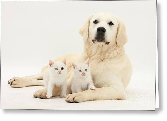Canid Greeting Cards - Retriever With Friendly Kittens Greeting Card by Mark Taylor