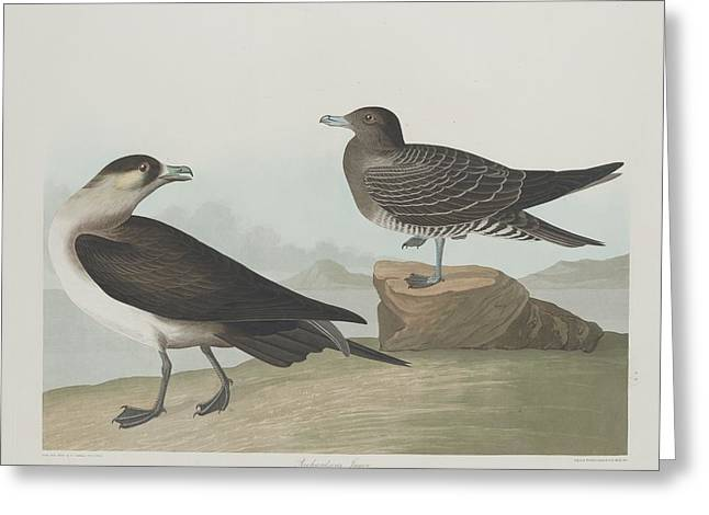 Shorebird Greeting Cards - Richardsons Jager Greeting Card by John James Audubon
