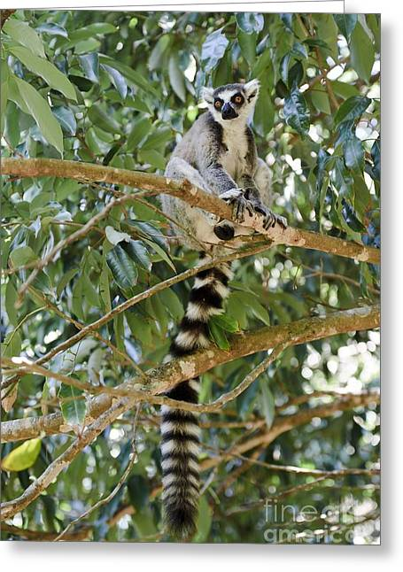 Lemur Catta Greeting Cards - Ring-tailed Lemur Greeting Card by Matthew Oldfield