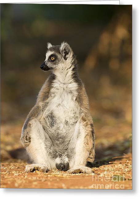 Ring-tailed Lemur Greeting Card by Tony Camacho