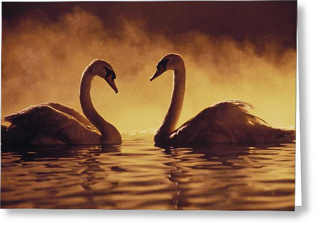 Twilight Views Greeting Cards - Romantic African Swans Greeting Card by Brent Black - Printscapes