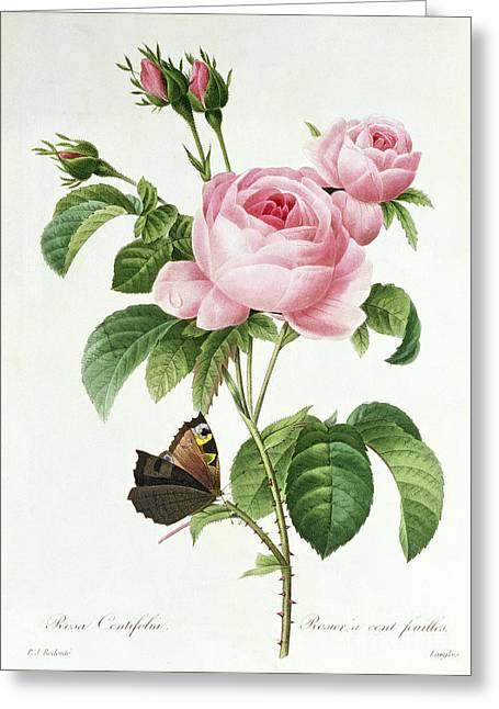 Blooms Butterflies Greeting Cards - Rosa Centifolia Greeting Card by Pierre Joseph Redoute