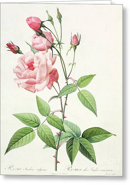 Botanical Greeting Cards - Rosa Indica Vulgaris Greeting Card by Pierre Joseph Redoute
