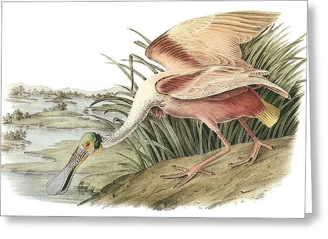 Roseate Spoonbill Greeting Card by John James Audubon