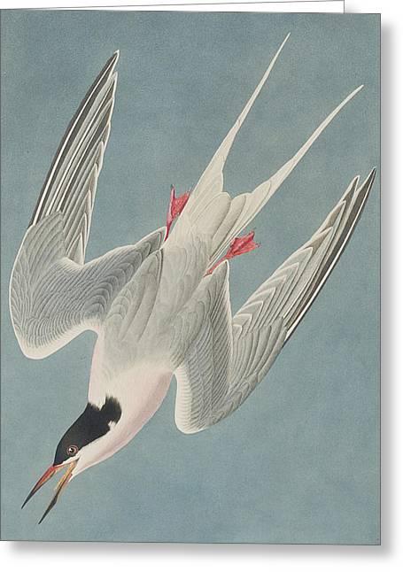 Roseate Tern Greeting Card by John James Audubon