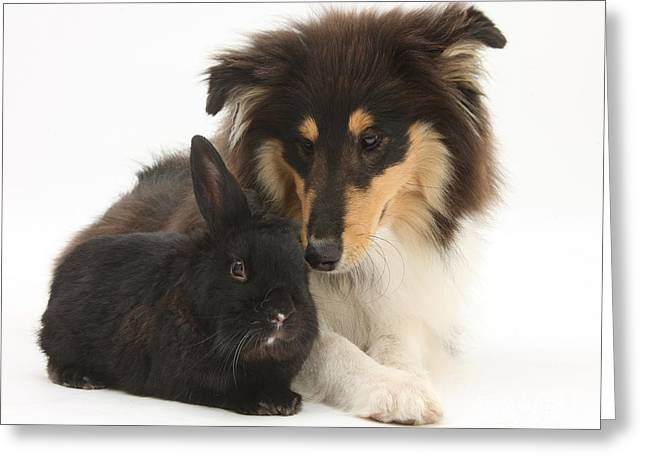 Canid Greeting Cards - Rough Collie With Black Rabbit Greeting Card by Mark Taylor