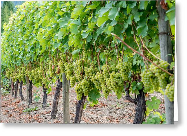 Grape Vineyard Greeting Cards - Rows of Vines Greeting Card by Sabine Edrissi