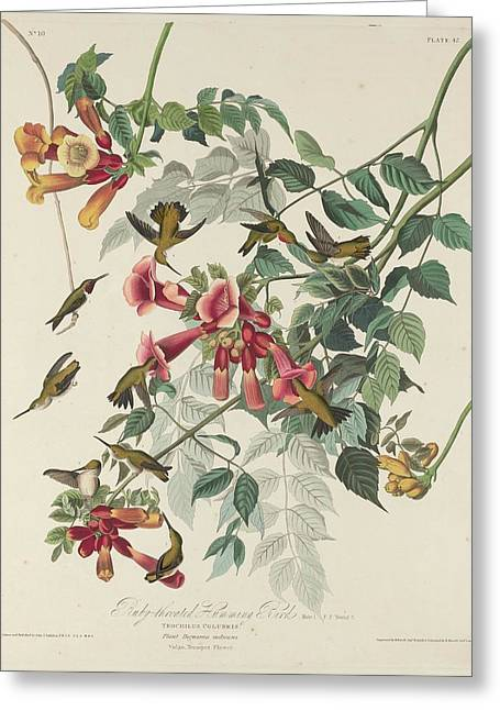 Ruby Throat Greeting Cards - Ruby-Throated Hummingbird Greeting Card by John James Audubon