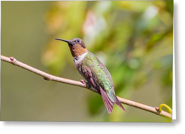 Actions Pyrography Greeting Cards - Ruby-throated Hummingbird Greeting Card by Tim Morrill