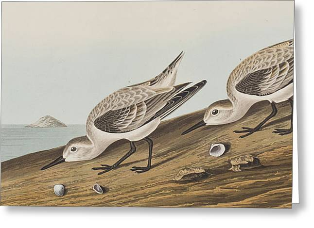 Sea Shell Drawings Greeting Cards - Ruddy Plover Greeting Card by John James Audubon