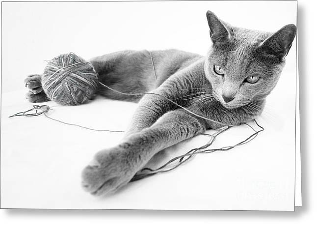 White Fur Greeting Cards - Russian Blue Greeting Card by Nailia Schwarz