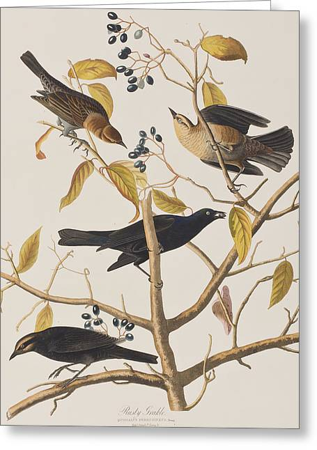 Black Berries Greeting Cards - Rusty Grackle Greeting Card by John James Audubon