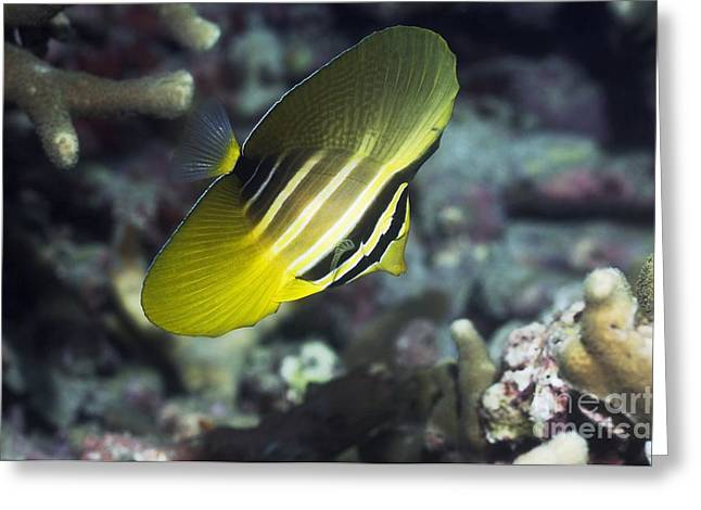 Indonesian Wildlife Greeting Cards - Sailfin Tang Greeting Card by Georgette Douwma