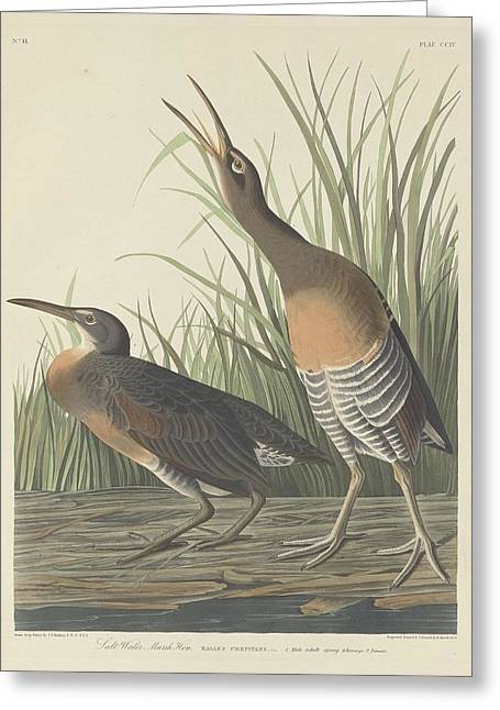 Shorebird Greeting Cards - Salt Water Marsh Hen Greeting Card by John James Audubon