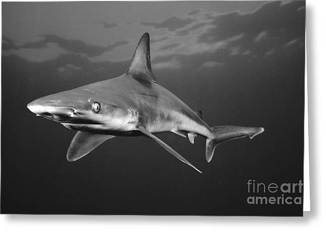 White Shark Greeting Cards - Sandbar Shark Greeting Card by Dave Fleetham - Printscapes