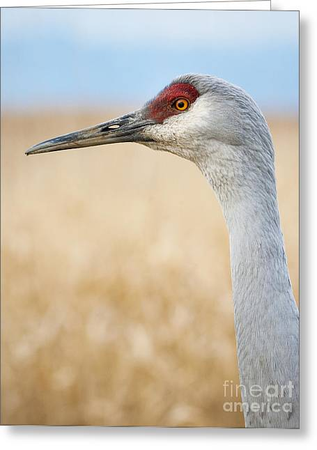 Sandhill Cranes Greeting Cards - Sandhill Crane Greeting Card by Chris Dutton