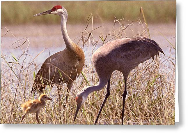 Two Pyrography Greeting Cards - Sandhill Crane Family Greeting Card by Richard Nickson