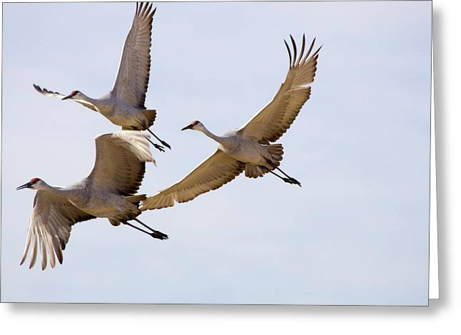 Wildlife Refuge. Greeting Cards - Sandhill Cranes In Flight Greeting Card by Panoramic Images