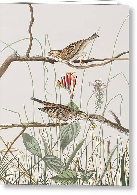 Finch Greeting Cards - Savannah Finch Greeting Card by John James Audubon