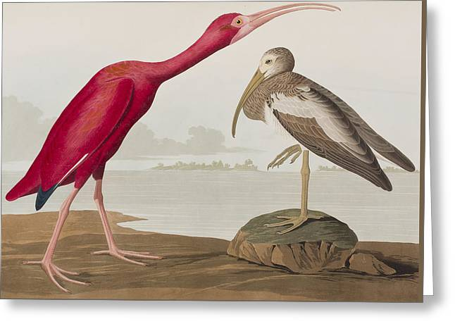 Ibis Greeting Cards - Scarlet Ibis Greeting Card by John James Audubon
