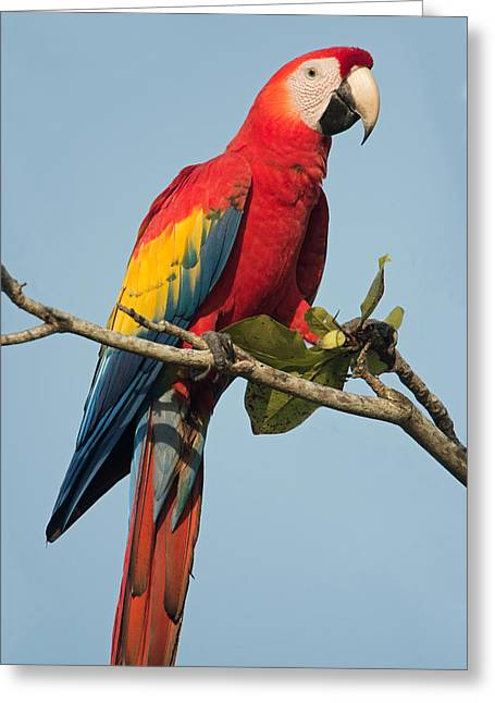 Wild Parrots Greeting Cards - Scarlet Macaw Ara Macao, Tarcoles Greeting Card by Panoramic Images