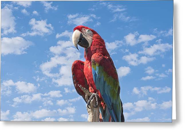 Macaw Profile Greeting Cards - Scarlet Macaw Greeting Card by Kim Hojnacki
