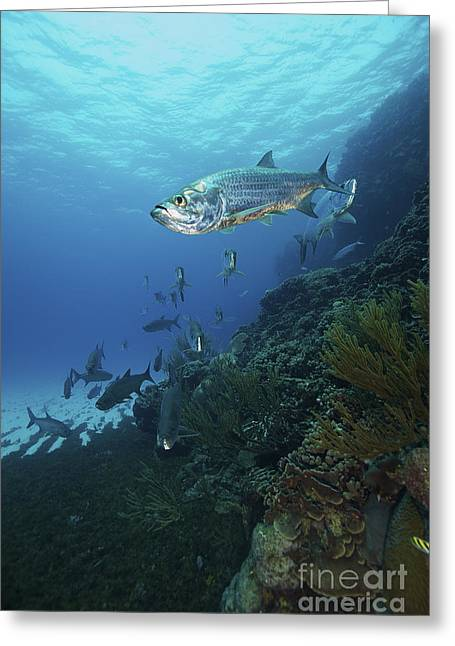 Undersea Photography Photographs Greeting Cards - School Of Tarpon, Bonaire, Caribbean Greeting Card by Terry Moore