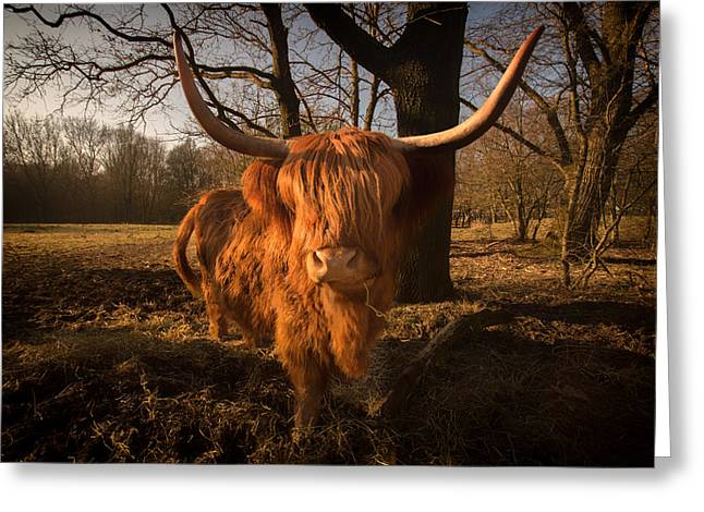 Country Woolies Greeting Cards - Scottish Highlander Cow Greeting Card by Skitter Photo