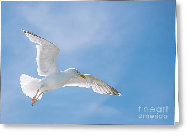 Backlit Greeting Cards - Seagull Flying High Greeting Card by Amanda And Christopher Elwell