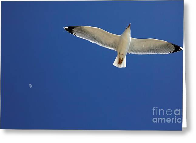 Flying Seagull Greeting Cards - Seagull In Flight Greeting Card by Detlev van Ravenswaay