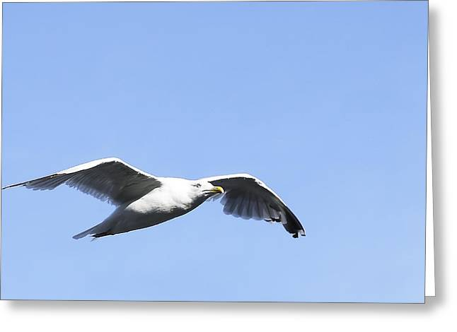 Flying Seagull Photographs Greeting Cards - Seagull Greeting Card by Svetlana Sewell
