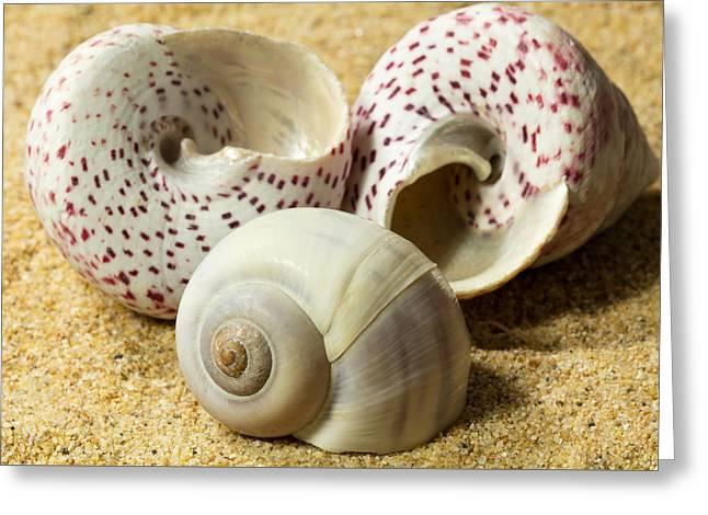 Aquatic Greeting Cards - Seashells on Sand Greeting Card by Malisa Nicolau