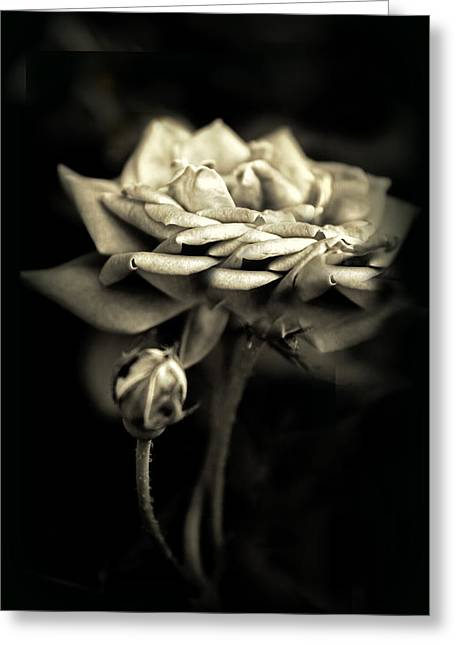 Rose Petals Greeting Cards - Sepia Rose Greeting Card by Jessica Jenney