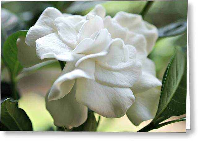 Gardenia Greeting Cards - Serenity Greeting Card by Kathy Bucari