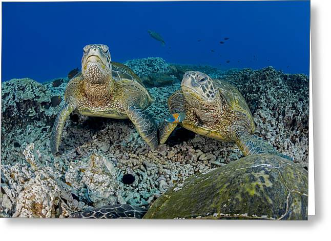 Niihau Hawaii Greeting Cards - Several Green Sea Turtles  Chelonia Greeting Card by Dave Fleetham