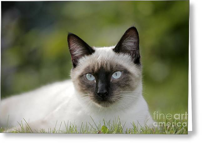 Domestic Pet Portraits.house Cat Greeting Cards - Siamese Cat Greeting Card by Rolf Kopfle